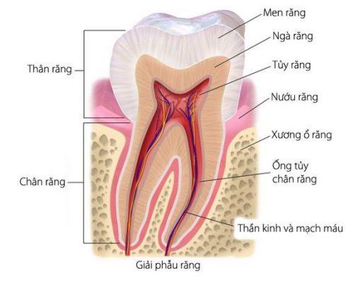 cơ sở sinh học trong chữa răng